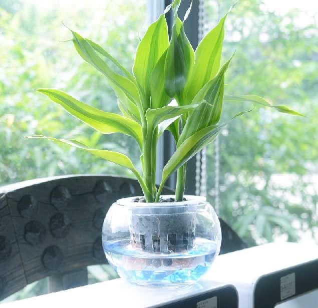 鸭脚木盆栽 ¥49.00 260人喜欢查看详情